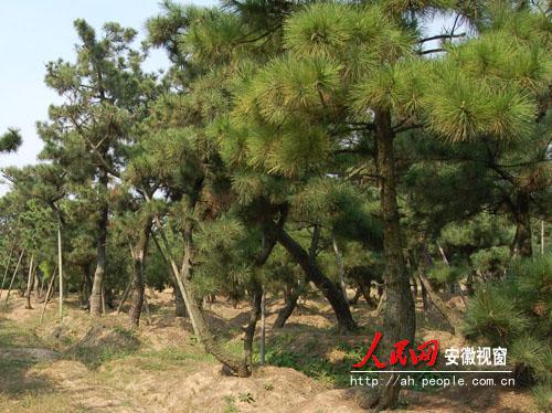 肥东县一占地200多亩的黑松景观树基地,在安徽省规模最大.