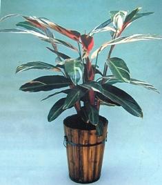 杭州 竹芋/别名:红背卧花竹芋、红背竹芋、卧花竹芋