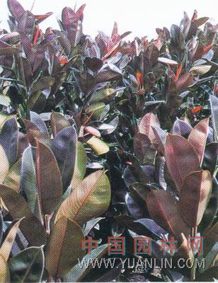 花叶橡皮树 彩叶橡皮树