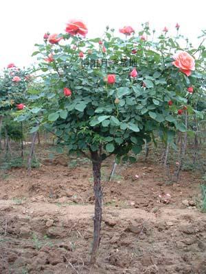 月季树栽培嫁接技术图解