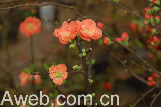 江南城鎮居民有在春節期間互贈梅花的習俗,寓意來年萬事順暢,以及對