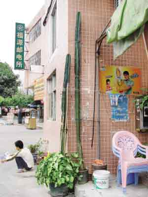 5米高盆栽无叶 怪树 原是仙人掌类植物