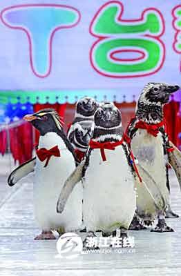 极地海洋公园的企鹅昨日开心走t台(图)