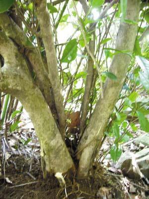 百年特大野生茶树(图)