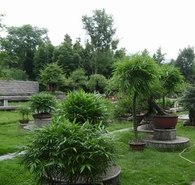 竹子盆栽图片人面竹-安吉竹盆景